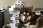 Choáng dàn 8 iPhone 7 đình đám thiếu gia giàu nhất Trung Quốc mua cho chó cưng