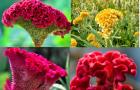 Kỹ thuật trồng hoa mào gà cực đơn giản cho hoa nở quanh năm