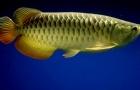 Kỹ thuật nuôi cá Rồng cảnh mang tiền tài, may mắn và phúc lộc đầy nhà