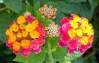 Kỹ thuật trồng cây hoa ngũ sắc cho vườn nhà rực rỡ quanh năm