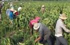 Lao động nông nghiệp và phi chính thức làm 'hạ thấp' năng suất lao động ở Việt Nam