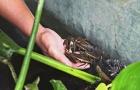 Kỹ thuật xây dựng mô hình nuôi cà cuống độc đáo, thu hoạch trong thời gian ngắn