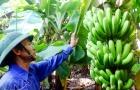 Ứng dụng công nghệ trong giám sát, truy xuất nguồn gốc chuối tiêu hồng