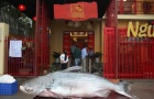 'Thủy quái' năng 160kg trị giá hàng trăm triệu của đại gia Hà Nội có gì đặc biệt?