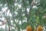 Cây cảnh 9 loại quả độc đáo đón Tết Nguyên Đán