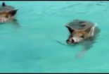 Clip: Thú vị lợn bơi dưới biển