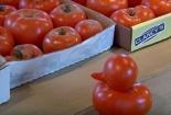 Mục sở thị quả cà chua đột biến hình vịt con