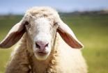 Xây dựng chỉ dẫn địa lý 'Ninh Thuận' cho sản phẩm thịt cừu