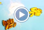 Clip cận cảnh: Nhộng ngâm hóa chất từ nhộng chết thối
