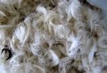 Biến lông gà thành vật liệu cách nhiệt
