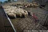 Cậu bé 5 tuổi đam mê xén lông cừu