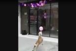 Cư dân mạng 'phát sốt' trước khả năng chơi bóng siêu việt của một chú chó thông minh