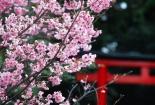 Rực rỡ hoa Anh Đào sứ sở mặt trời mọc tại Vĩnh Phúc