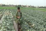 100 đồng/kg bắp cải, nông dân tự tay đốn bỏ hàng chục tấn rau tại ruộng