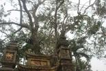 Cây sưa 200 năm tuổi giá 24,5 tỷ chính thức về nhà đại gia gỗ Đồng Kỵ