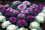 Kỹ thuật trồng cây hoa Hồng sa mạc tại nhà đẹp ngỡ ngàng