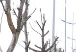 Hà Nội: Cây mới trồng trên các tuyến phố chết khô hàng loạt