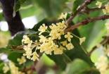 Kỹ thuật trồng cây Mộc cho vườn nhà tỏa hương ngào ngạt