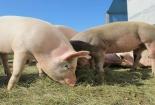 Nghiên cứu ghép nội tạng của lợn cho người