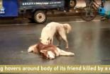 Rơi nước mắt nhìn chú chó đau đớn lay xác bạn bị xe đâm chết