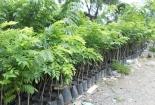 Có tiền tỷ 'chớp nhoáng' nhờ vận dụng chuẩn kỹ thuật trồng cây sưa quý hiếm