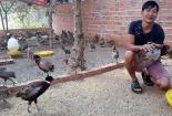 Độc đáo cách nuôi chim trĩ bằng nhạc