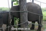 Tình bạn của hai chú voi rừng bị lạc bầy ở Đăk Lăk