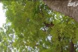Hà Nội: Phí chặt một cây xà cừ có thể lên đến 14 triệu