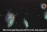 Vớt cá chết xuyên đêm ở hồ Hoàng Cầu