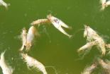 Hồ tôm ở Hà Tĩnh chết trắng sau một đêm