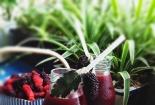 Chia sẻ cách làm sinh tố dâu tằm thơm ngon bổ dưỡng ngay tại nhà