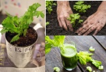 Vì sao phụ nữ trung niên phải trồng ít nhất 1 khóm cần tây trong nhà?