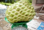Video: Xem quả na nặng hơn 1kg được bày bán tại Lạng Sơn
