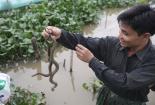 Kiếm hàng trăm triệu mỗi năm từ nghề nuôi rắn mòng