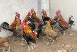 Kiếm hàng trăm triệu đồng mỗi tháng nhờ nuôi gà rừng trong trại bồ câu