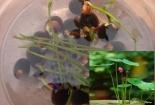 Tạo chậu sen Nhật để bàn cực đáng yêu chỉ vài bước trồng bằng hạt đơn giản