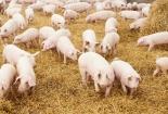 Giá cả thị trường ngày hôm nay (6/10): Giá lợn hơi giảm sâu ở miền Bắc