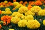 Trồng cây phong thủy ra hoa dịp cuối năm để đem tài lộc về nhà