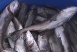 Cá bớp nuôi trên vịnh Cam Ranh chết hàng loạt