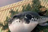 Những điều cần biết trước khi ăn món cá nóc chết người