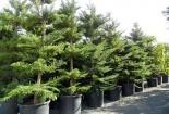Kỹ thuật trồng và chăm sóc cây bách tán mang trường tồn cho gia chủ
