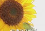 Vườn hoa hướng dương rộng 2.000 m2 tại thủ đô Hà Nội