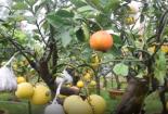 Thăm vườn cây có hơn 10 loại quả trên một cây ở Hà Nội
