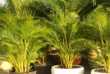 Kỹ thuật trồng cây cau vàng mang thịnh vượng, quyền uy cho gia chủ