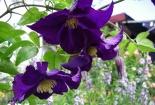 Mê mẩn với vẻ đẹp hoa ông lão, kỹ thuật trồng cực đơn giản