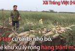 Hàng nghìn tấn củ cải của nông dân Hà Nội phải vứt bỏ