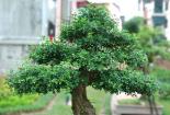 Trồng cây nguyệt quế bonsai để hút khí độc mang lại không khí trong lành cho gia chủ