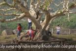 Hai cây sung 100 tuổi ở Phú Yên thu hút khách tham quan