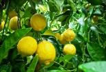 Trồng cây chanh vàng Mỹ và cách xử lý ra hoa đậu trái sai trĩu cành
