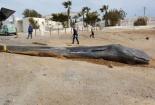 Cá voi dài 10 mét chết dạt vào bờ, phát hiện ra thứ kinh khủng trong bụng